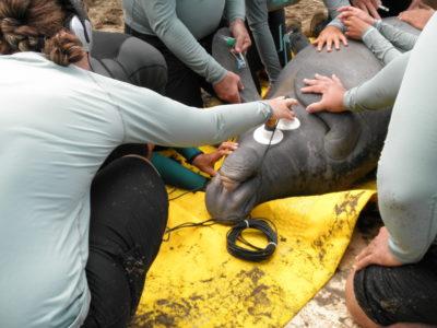 injured manatees